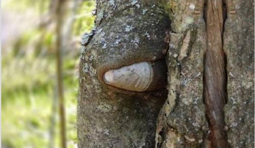 Гилза от 75-милиметров полеви пистолет наднича изпод гънките на кората на дървото.