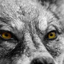 За вълците и хората