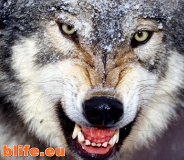 За вълците и хората - уникално ВИДЕО, което ще Ви шокира !